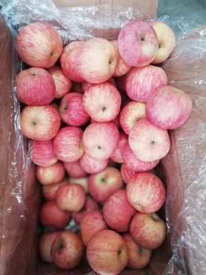 山东省临沂市蒙阴县红富士苹果 70mm以上 条红 纸袋