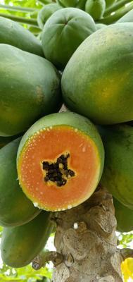 广西壮族自治区崇左市龙州县红心木瓜 1 - 1.5斤