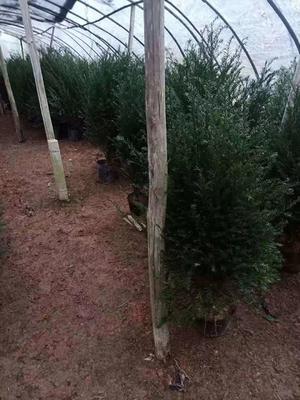 福建省龙岩市漳平市南方红豆杉 1~1.5米