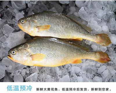广东省潮州市湘桥区大黄鱼 野生 1-1.5公斤