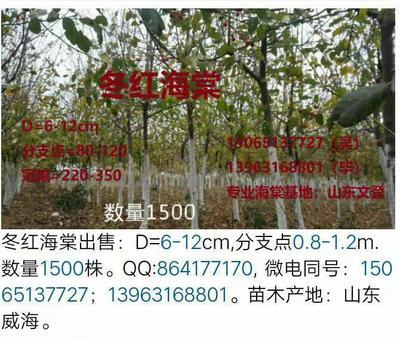 山东省威海市环翠区冬红海棠