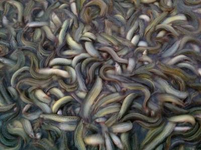 重庆永川区真泥鳅 人工养殖 3-5cm 50-60尾/公斤