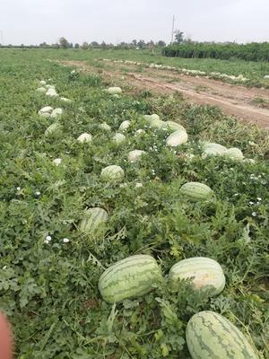 新疆维吾尔自治区昌吉回族自治州昌吉市安农2号西瓜 10斤打底 9成熟 1茬 有籽
