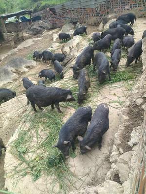 广西壮族自治区南宁市隆安县藏香猪猪苗