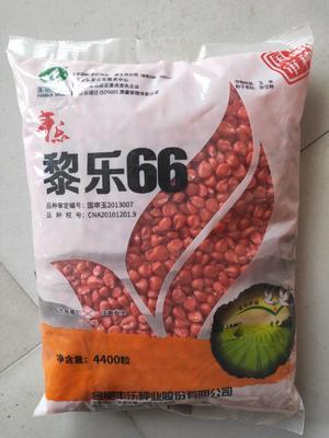 河南省安阳市滑县黎乐66玉米种子 双交种 ≥90%