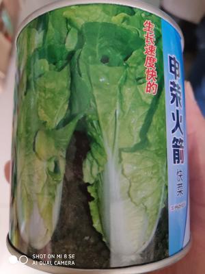 江苏省宿迁市沭阳县白菜种子  快菜种子