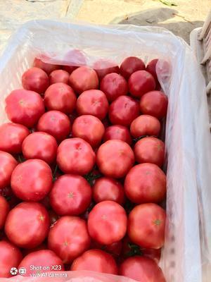 陕西省咸阳市泾阳县普罗旺斯番茄 精品 弧二以上 硬粉