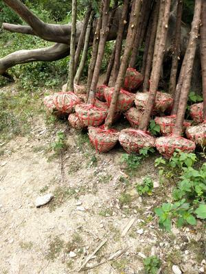 广西壮族自治区桂林市秀峰区南方红豆杉 2.0~2.5米