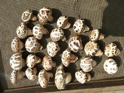 湖北省随州市广水市花菇干 散装 1年