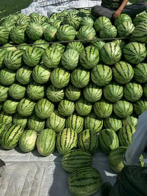 新疆维吾尔自治区吐鲁番地区吐鲁番市安农2号西瓜 10斤打底 8成熟 1茬 有籽
