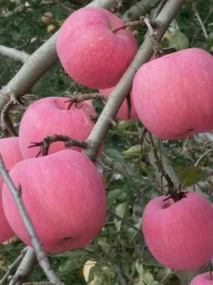 陕西省西安市莲湖区红富士苹果 75mm以上 片红 纸袋