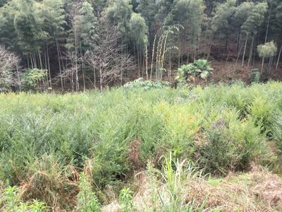 福建省三明市三元区南方红豆杉 2.0~2.5米