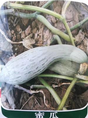 山东省济南市历城区贵族南瓜种子 95%