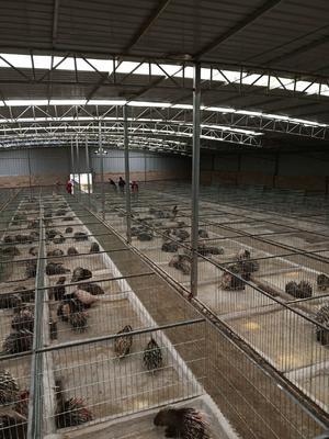 湖南省永州市道县湖南豪猪 20-30斤