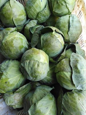 云南省曲靖市宣威市小铁头白菜 2~3斤 净菜