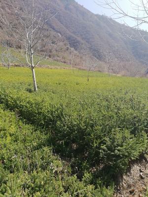 这是一张关于青海云杉 的产品图片