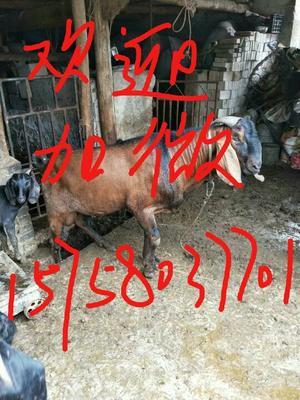 云南省玉溪市红塔区努比亚羊 30-50斤