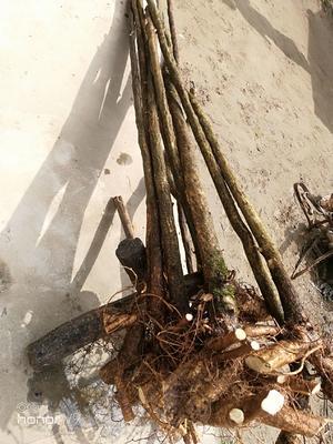 陕西省汉中市城固县丰花紫藤 2.5~3米 4~5公分