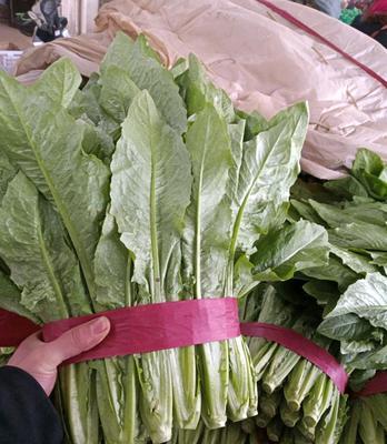 河北省邯郸市永年县美冠油麦菜 30~35cm