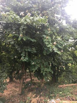 广西壮族自治区柳州市柳北区宫粉紫荆树