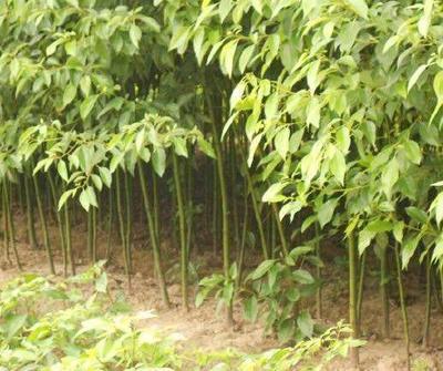 这是一张关于樟树苗 的产品图片
