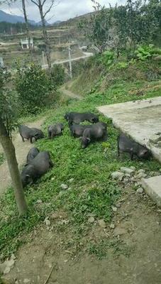 贵州省铜仁市印江土家族苗族自治县从江香猪 40-60斤