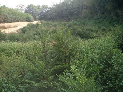 安徽省安庆市岳西县南方红豆杉 1~1.5米