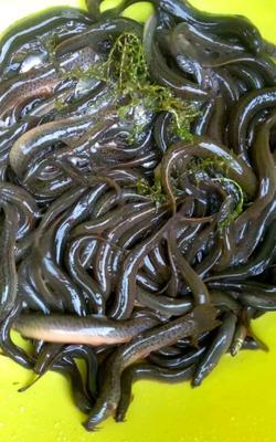 河南省周口市川汇区野生泥鳅 野生 5-8cm 50-60尾/公斤