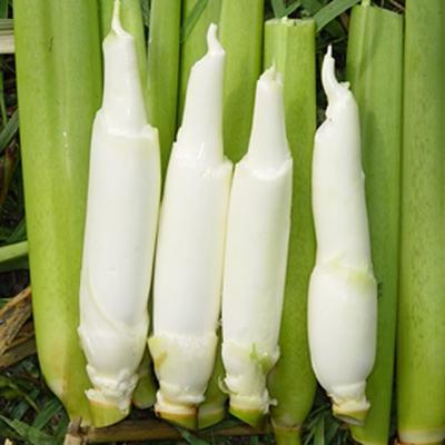 这是一张关于茭白种苗 的产品图片