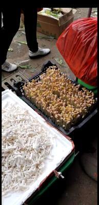 这是一张关于花生芽 人工种植 5-10cm 的产品图片