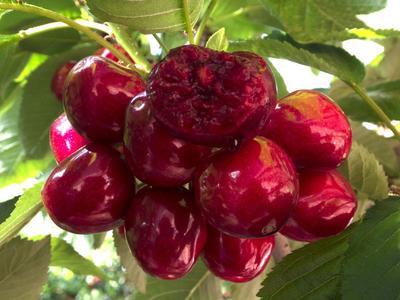 这是一张关于美早樱桃 20mm以上 12-15g 的产品图片