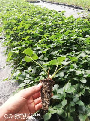 这是一张关于红颜草莓苗 20~30公分 穴盘苗 的产品图片