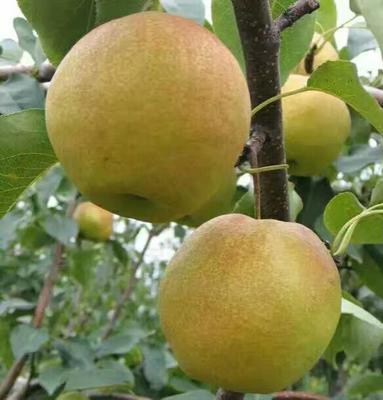 山西省运城市绛县玉露香梨树苗 1~1.5米