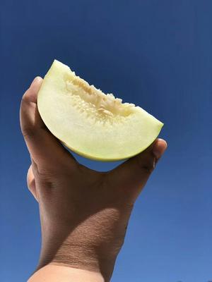 这是一张关于郁金香甜瓜 1斤以上 的产品图片
