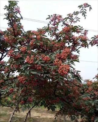 陕西省渭南市蒲城县大红袍花椒 特级 干花椒