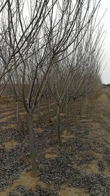 山东省青岛市黄岛区晚樱 3~3.5米 6~8公分