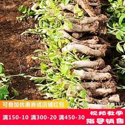 广西壮族自治区梧州市藤县须弥葛 食用粉葛种苗春季供应