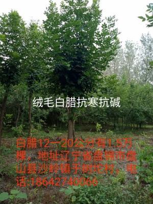 辽宁省盘锦市盘山县老式白蜡 3.5~5米
