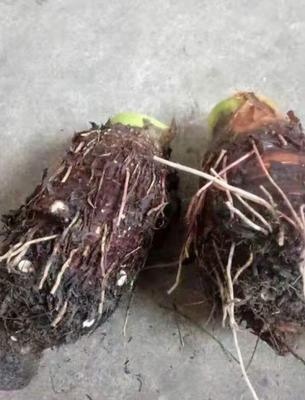 广西壮族自治区桂林市恭城瑶族自治县槟榔芋 7cm以上