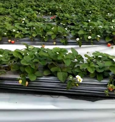 这是一张关于达塞草莓苗 10~20公分 地栽苗 的产品图片