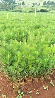 云南省红河哈尼族彝族自治州弥勒市湿地松树苗