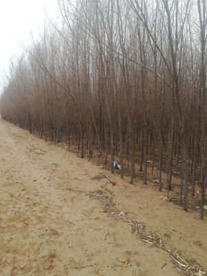 陕西省榆林市榆阳区速生白榆