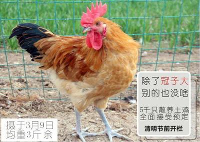 这是一张关于固始土鸡 3-4斤 公 的产品图片