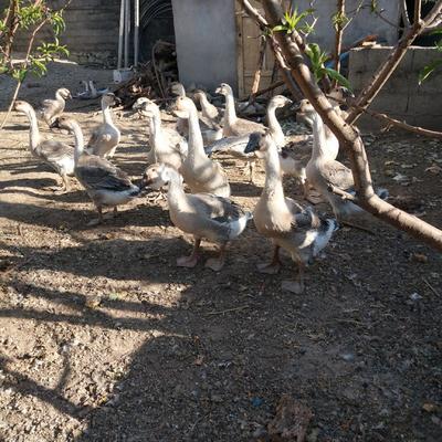 四川省凉山彝族自治州西昌市狮头鹅 10-12斤 母 半圈养半散养