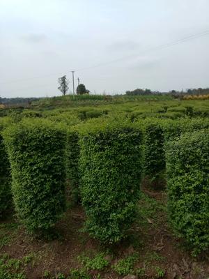 重庆璧山区小叶女贞造型树