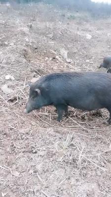 四川省内江市资中县特种野猪 统货 120斤以上