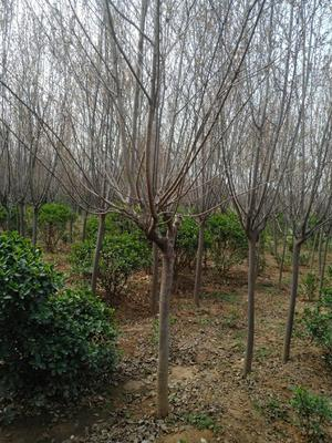 陕西省西安市周至县中国红樱 1~1.5米 6~8公分