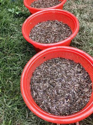 广东省佛山市顺德区台湾泥鳅 人工养殖 3cm以下 50-60尾/公斤