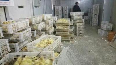 山东省菏泽市郓城县大三花鹅 12斤以上 统货 半圈养半散养