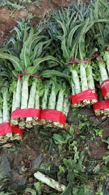 陕西省渭南市华县红叶香莴苣 12~16cm 1.5~2.0斤